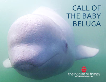 Call of the Baby Beluga